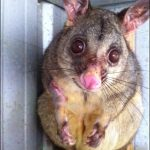 Mistys First Possum Encounter
